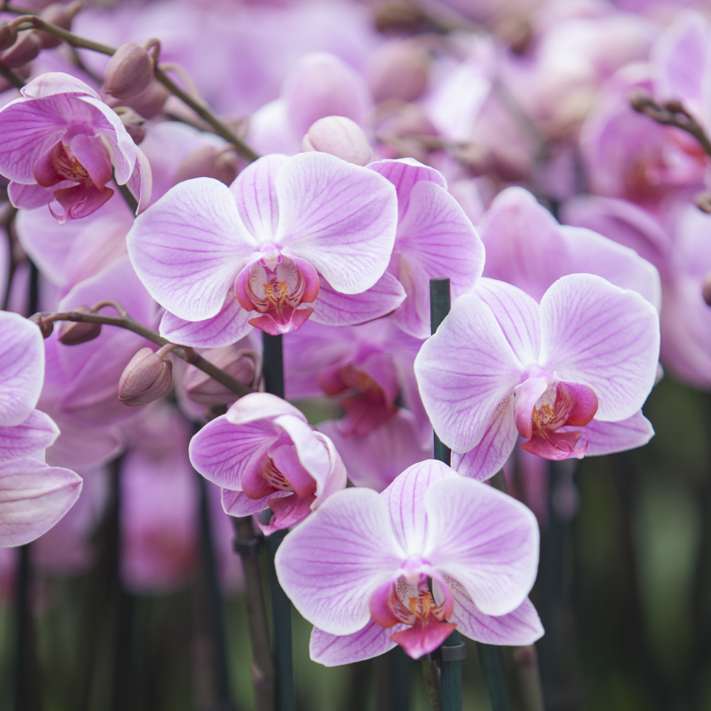 How to keep your orchids blooming through summer